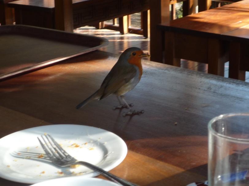 Very Friendly Robin!